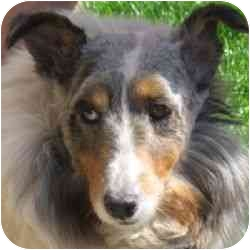 Sheltie, Shetland Sheepdog Mix Dog for adoption in Berkeley, California - Julianne