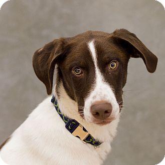 German Shorthaired Pointer Mix Dog for adoption in Plattsmouth, Nebraska - Cowboy
