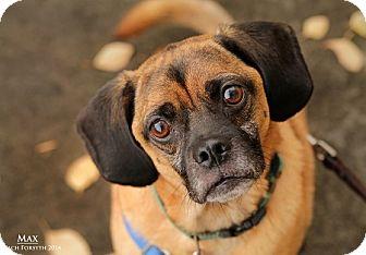Beagle/Pug Mix Dog for adoption in Portland, Oregon - Max