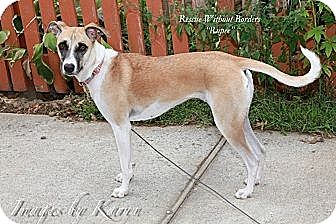 Hound (Unknown Type)/Whippet Mix Dog for adoption in Milltown, New Jersey - Rupee*A pet with Perks*