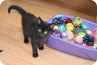 Domestic Shorthair Kitten for adoption in St. Louis, Missouri - Spanky
