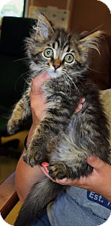 Maine Coon Kitten for adoption in Bucyrus, Ohio - Massachusetts