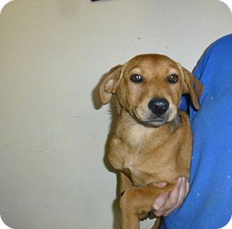 Golden Retriever/Labrador Retriever Mix Puppy for adoption in Oviedo, Florida - Marley