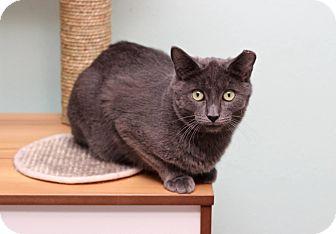 Domestic Mediumhair Cat for adoption in San Antonio, Texas - Horace