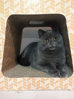 Domestic Shorthair Cat for adoption in Brainardsville, New York - Gracee
