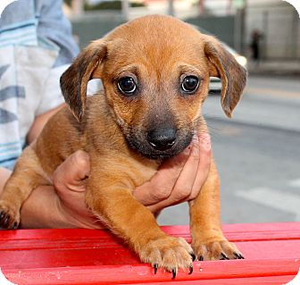 Dachshund Mix Puppy for adoption in Los Angeles, California - Nelson