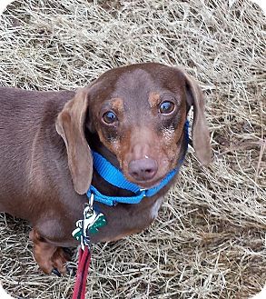 Dachshund Dog for adoption in Alpharetta, Georgia - Brownie