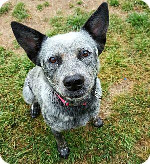 Australian Cattle Dog Dog for adoption in Fredericksburg, Texas - Callie