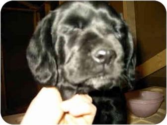 Labrador Retriever/Coonhound Mix Puppy for adoption in Lyman, South Carolina - Cara