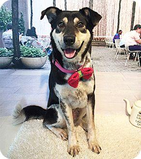 Labrador Retriever/Shepherd (Unknown Type) Mix Dog for adoption in Castro Valley, California - Carol