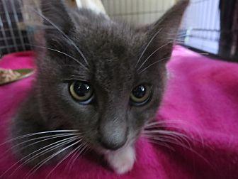 Domestic Shorthair Kitten for adoption in Coos Bay, Oregon - Gator