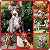 Adopt A Pet :: Lovebug - Inverness, FL