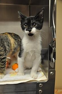 Domestic Shorthair/Domestic Shorthair Mix Cat for adoption in Pompano Beach, Florida - 33908800