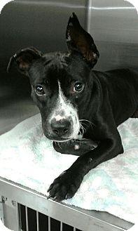 Labrador Retriever Mix Puppy for adoption in Fort Myers, Florida - Dakota