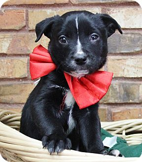 Retriever (Unknown Type) Mix Puppy for adoption in Benbrook, Texas - Kevin
