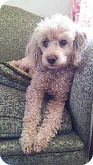 Poodle (Miniature) Mix Dog for adoption in Forestville, New York - Katie