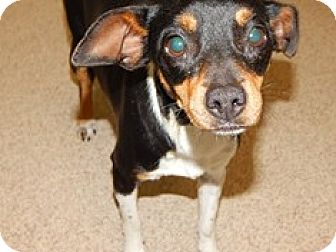 Rat Terrier/Chihuahua Mix Dog for adoption in Dallas, Texas - Trixie
