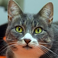 Adopt A Pet :: Zatz - Norwalk, CT