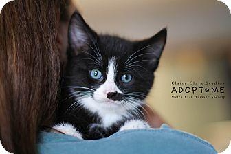 Domestic Shorthair Kitten for adoption in Edwardsville, Illinois - Alex