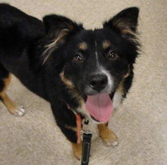 Australian Shepherd Mix Dog for adoption in Seagoville, Texas - Emmy
