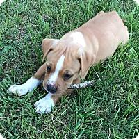Adopt A Pet :: Butterscotch 💙 ADOPTED! - Allentown, PA