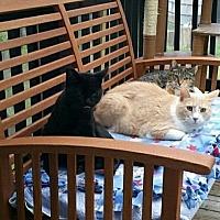 Domestic Shorthair Cat for adoption in Minneapolis, Minnesota - Iqnatz