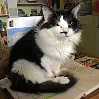 Domestic Longhair Cat for adoption in Princeton, New Jersey - Little Lucy