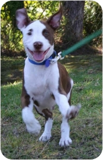 American Staffordshire Terrier Mix Puppy for adoption in West Los Angeles, California - Helio