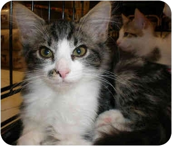Domestic Shorthair Kitten for adoption in Yorba Linda, California - Smudgy