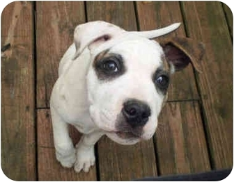 Boxer/American Bulldog Mix Dog for adoption in Powell, Ohio - Thaddeus