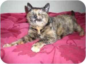 Calico Cat for adoption in Victoria, British Columbia - Tortie