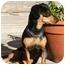 Photo 3 - Dachshund/Miniature Pinscher Mix Dog for adoption in Rochester Hills, Michigan - Duncan