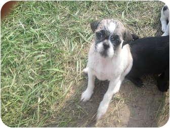 Pug/Shih Tzu Mix Puppy for adoption in Wauseon, Ohio - Pug/Shih tzu Puppies