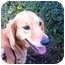 Photo 1 - Golden Retriever Dog for adoption in Knoxville, Tennessee - Emily