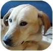 Labrador Retriever Mix Dog for adoption in Hamilton, Ontario - Alex