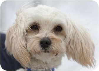 Maltese/Yorkie, Yorkshire Terrier Mix Dog for adoption in Ile-Perrot, Quebec - Jack