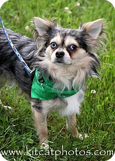 Chihuahua Dog for adoption in Worcester, Massachusetts - Stewart Little