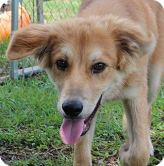 Golden Retriever/Collie Mix Dog for adoption in Hagerstown, Maryland - Quarter