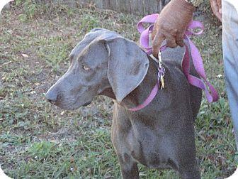 Weimaraner Dog for adoption in Inverness, Florida - Lady Iris