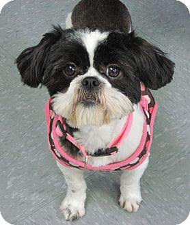 Shih Tzu Mix Dog for adoption in Hagerstown, Maryland - BeBe