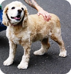 Cocker Spaniel Dog for adoption in Norwalk, Connecticut - Bo