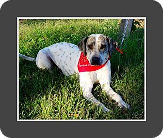 Pointer/Weimaraner Mix Dog for adoption in El Cajon, California - VICTORIA
