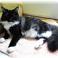 Adopt A Pet :: Sibyl - Shelton, WA