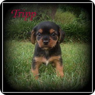 Yorkie, Yorkshire Terrier Mix Puppy for adoption in Denver, North Carolina - Tripp