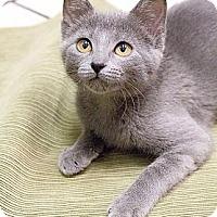 Adopt A Pet :: Rowdy Blu - Chicago, IL