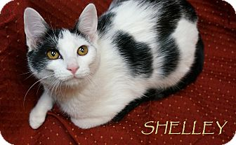 Domestic Shorthair Cat for adoption in Wheaton, Illinois - Shelley