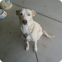 Adopt A Pet :: Zoey Lab - Scottsdale, AZ