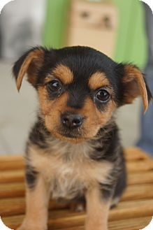 Yorkie, Yorkshire Terrier/Chihuahua Mix Puppy for adoption in Newark, Delaware - Maisie