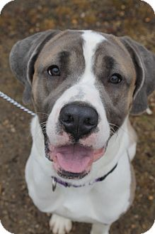 St. Bernard/Boxer Mix Dog for adoption in Waldorf, Maryland - Allen
