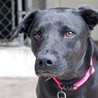 Labrador Retriever Mix Puppy for adoption in Mountain Home, Arkansas - Roxy (Buggy Boo)